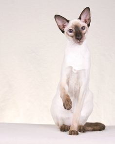 Oriental Siamese are among the most popular cat breeds registered with the Cat Fanciers' Association. Super Cute Cats, Cute Cats And Dogs, Cool Cats, Siamese Kittens, Cats And Kittens, Most Popular Cat Breeds, Oriental Cat, Domestic Cat, Dog Cat