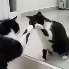 How Cute Cat acting is funny video - Gatos - Animal Cute Funny Animals, Cute Baby Animals, Funny Dogs, Funny Humor, Wild Animals, Cats Humor, Crazy Animals, Animals Images, Animal Pictures