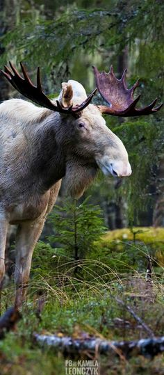 A white moose in Sweden