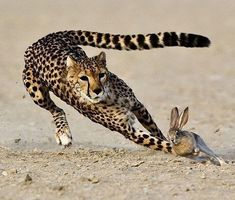 Chasing cheetah