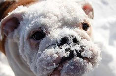 "Find out more relevant information on ""bulldog puppies"". Have a look at our web site. Bulldog Puppies, Cute Puppies, Cute Dogs, Dogs And Puppies, Doggies, Animals And Pets, Baby Animals, Funny Animals, Cute Animals"
