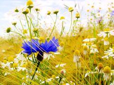 Wallpaper flower macro blue blur voloshka Cornflower images