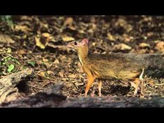 What a weird-looking little creature! These mouse-like deer only grow to about the size of a rabbit.   Lesser Mouse-Deer,Pikkukantsilli,Tragulus javanicus,Kaeng Krachan Thailand - YouTube