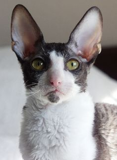 So noble looking Cornish rex