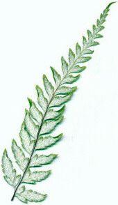 Silver fern.