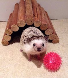 Stella, the baby hedgehog, playing with her toy. Hedgehog Care, Happy Hedgehog, Pygmy Hedgehog, Hedgehog House, Cute Hedgehog, Cute Little Animals, Like Animals, Animals And Pets, Baby Animals