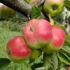 Api Etoile Apple - Another! Katie Homes, Vegetable Garden Design, Edible Garden, Star Shape, Great Recipes, Flora, Home And Garden, Apple, Vegetables