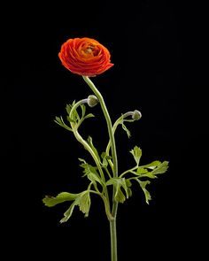 Dancing Ranunculus I Photograph by Zina Zinchik - Dancing Ranunculus I Fine Art Prints and Posters for Sale