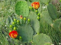 """The prickly pear cactus was designated the official plant of Texas in 1995.Found in the deserts of the American southwest,the fruits of most prickly pear cacti are edible, and have been a source of food to native Americans for thousands of years.Cacti in general(and the fruits in particular)are still staple foods for some residents of Mexico and Latin America and the prickly pear cactus is raised commercially.The fruit is sold under the name""""Tuna"""";the branches or pads are eaten as a…"""
