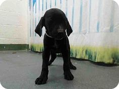 #FLORIDA #URGENT ~ Jason ID A1512197 is a male Labrador Retriever #Puppy dog #adoptable at MIAMI DADE ANIMAL SERVICES  7401 NW 74th St  #Miami FL   33166 Ph 305-884-1101