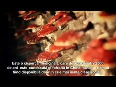 Reishi (Lingzhi) medicinal mushroom for the Romanian market