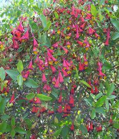 More T. tricolor climbing through a Colliguaja odorifera shrub.  Rangue, Chile