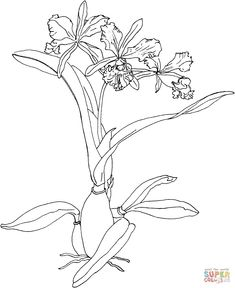 cattleya-maxima-or-christmas-orchid.gif (1048×1283)