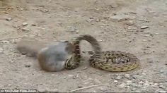 Dual:Realising that biting it was not enough to deter the squirrel, the snake then wrappe...