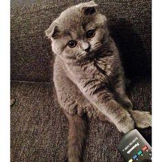 BLUE SCOTTISH FOLD CAT - IF I DONT GET A POMERANIAN