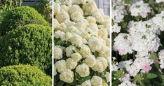 Save this classic plant combination featuring Baby Gem Boxwood and a green and white color palette to try in the coming months. Southern Landscaping, Boxwood Garden, Hydrangea Landscaping, Hydrangea Garden, Home Landscaping, Front Yard Landscaping, Hydrangeas, Landscaping Melbourne, Foundation Planting