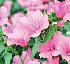 Slézovec Summer Hill, Garden Soil, Pink Candy, Perennials, Frost, Seeds, Bloom, Plants, Homesteading