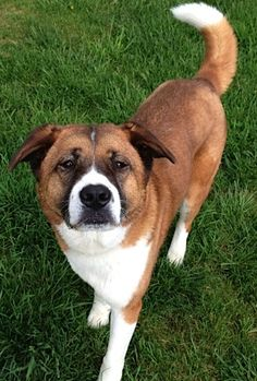 I'm Bell, a 7-year-old spayed female Akita/Bernese Mountain Dog mix. But most people just refer to me as a big, puffy, cuddly, teddy bear. I love to meet new people. I am housetrained and I walk politely on my leash. I really enjoy taking naps but also enjoy the outdoors. Hiking is my favorite outdoor activity. Cats and most other dogs are not my friends, so I would prefer to be the only pet. I'm a big gal with a lot of love to give.  Email Mtocker@berksarl.org to meet me!