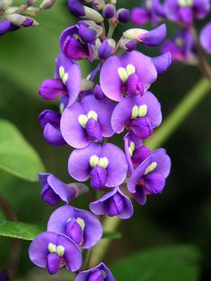 Hardenbergia by FlowerXP