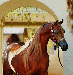 Legendary Arabian stallion, Magnum Psyche. photo: Stuart Vesty.