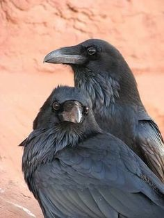 Crows Ravens: Did you know that not only remember people who help them… Love Birds, Beautiful Birds, Animals Beautiful, Cute Animals, Beautiful Creatures, Quoth The Raven, Raven Art, Pet Raven, Crow Art