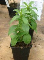 Wondering what stevia plants look like? Or are you interested in growing stevia yourself? From stevia seeds to leaves, all is answered here!
