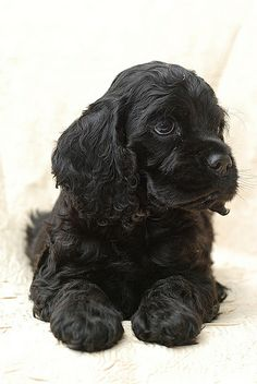 We raised American Cocker Spaniel's when I was a kid. This also looks like our sweet Mitzi.an Australian Cocker Spaniel mix. Black Cocker Spaniel Puppies, Perro Cocker Spaniel, American Cocker Spaniel, Cocker Spaniel Breeds, Sweet Dogs, Cockerspaniel, Cute Dogs And Puppies, Doggies, Corgi Puppies