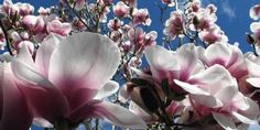 Magnolia x soulangeana is the variety most commonly seen in New Zealand gardens.
