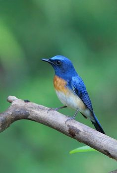 Blue Throated Blue Flycatcher