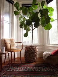 indoor fig plant