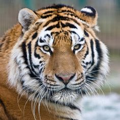 Over the past 100 years, Tigers have lost 93% of their historic range. The global population in the wild is estimated to number between 3,062 and 3,948 individuals, down from around 100,000 at the start of the 20th century. https://plus.google.com/u/0/b/110168715341467209566/collection/40ehX