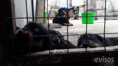 Cachorros rottweiler rottweilers rotweiller rotweillers perro cachorros rottweiler, , se entregan a los 45 dias, con las vacunas correspondientes, desparacitados ... http://villa-dolores.evisos.com.ar/cachorros-rottweiler-rottweilers-rotweiller-rotweillers-perro-id-979718