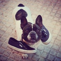 You can never say no to this face. Never Say Never, Merry Happy, Happy Fun, Superga, Boston Terrier, French Bulldog, Greece, Navy Blue, Pets