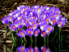 100 Crocus by Amy Smith, via 500px
