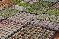 The Succulent Source, We are a Family CA Licensed Nursery selling succulent plants, wedding succulents, cactus, succulent favors, wholesale bulk succulents