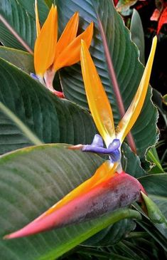 Birds Of Paradise With Leaves by Kirsten Giving – tropical garden ideas Tropical Flowers, Tropical Birds, Tropical Plants, Colorful Flowers, Tropical Gardens, Colorful Birds, Birds Of Paradise Plant, Birds Of Paradise Flower, Paradise Garden