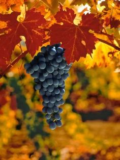 Photographic Print: Cabernet Sauvignon Grapes Poster by Charles O'Rear : Sauvignon Blanc, Cabernet Sauvignon, Chenin Blanc, Pinot Noir, True Vine, Wine Vineyards, Red Wine Glasses, Vides, Fruit Photography