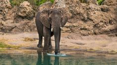 An elephant drinks from a watering hole in the Africa section of Disney's Animal Kingdom park