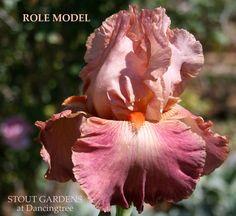 """(D. Denney 1988) Tall bearded iris, 36"""" (91 cm), E-M Flowers: S. melon rosy tan…"""