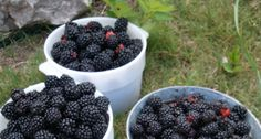 Blackberry Harvest Arrives At San Antonio Hill Country Resort  