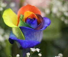 Flower Homes: Rainbow Roses