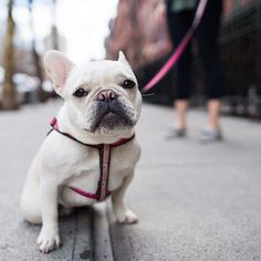 Lola, French Bulldog (1.5 y/o), 20th & 10th Ave, New York, NY @lolabarksdale https://instagram.com/thedogist/