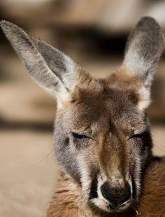 Kangaroo by NickiMM