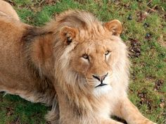 lion photo - Most of us probably haven't ever heard of half of these beautiful animals, and we're losing them. Breaks my heart.