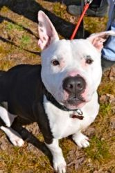 --Coby is an adoptable American Staffordshire Terrier Dog in Spring Lake, NJ. This handsome young Pit mix is Coby. He is just 4 years old and is already in search of a new home. Sadly, he was surrende...