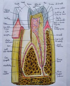 Cuddly Dental Implants Before And After Cosmetic Dentistry Dental Assistant Study, Dental Hygiene Student, Dental Hygienist, Dental Life, Dental Art, Dental Surgery, Dental Implants, Teeth Surgery, Canal Radicular
