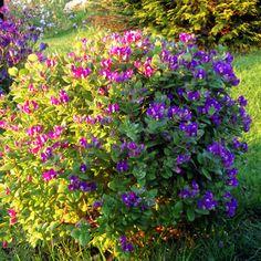 POLÍGALA MIRTIFOLIA o una bendición de planta | Plantas Graden, Plants, Cactus, Jardin, Garden Plants, Flowers, Garden