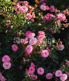 Bushes lush pink roses