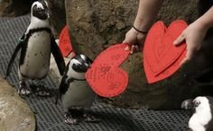 You're welcome. African penguins receive valentines from biologist Crystal Crimbchin at The California Academy of Sciences in San Francisco on Wednesday. How appropriate the valentines will be used as nesting material. Photo: AP
