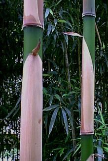 Pleioblastus simonii A simply beautiful and very unique bamboo with the clums sheaths being persistent. It matures at around 1 inch diameter and 14 to 18 feet in height here in our climate zone.